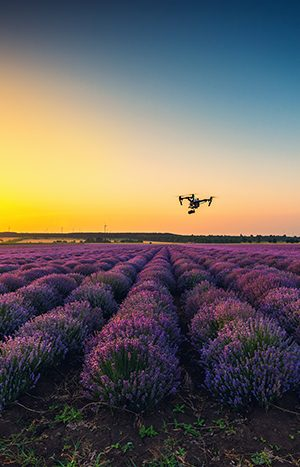 Flying drone and lavender field